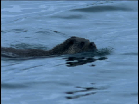 otter swims in sea, western scotland - europäischer fischotter stock-videos und b-roll-filmmaterial