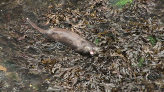 Otter (Lutra lutra) swims to shore with fish and feeds. Tobermory. Mull. UK. 22/07/08