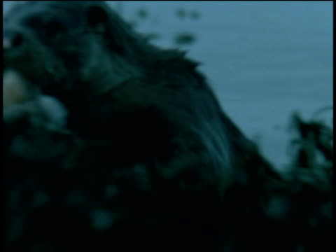 otter swims with jellyfish towards camera then eats it, western scotland - ユーラシアカワウソ点の映像素材/bロール