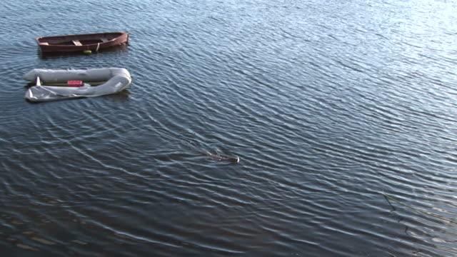 otter (lutra lutra). tobermory. mull. uk. 22/07/08 - mull stock-videos und b-roll-filmmaterial