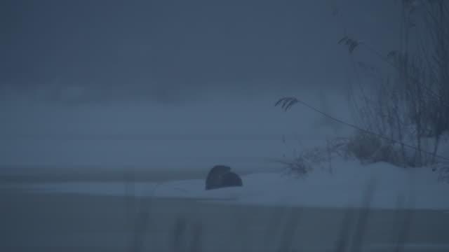 オッター  - ユーラシアカワウソ点の映像素材/bロール