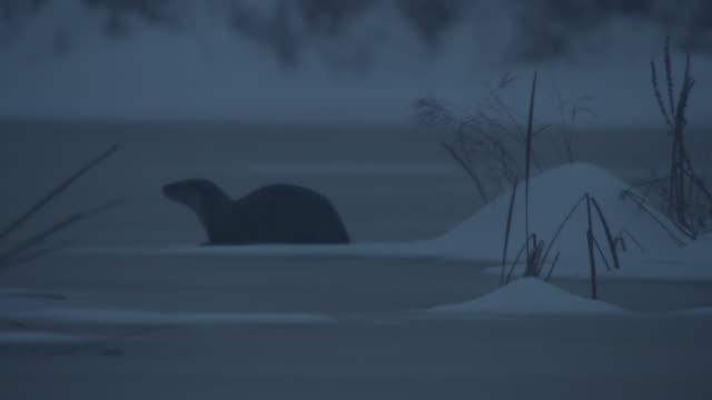 otter  - europäischer fischotter stock-videos und b-roll-filmmaterial