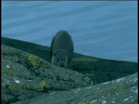otter walks over rocks towards camera, western scotland - european otter stock videos & royalty-free footage