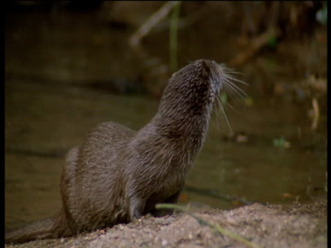 otter walks up onto bank and shakes water off of itself then sniffs at branches, devon - europäischer fischotter stock-videos und b-roll-filmmaterial