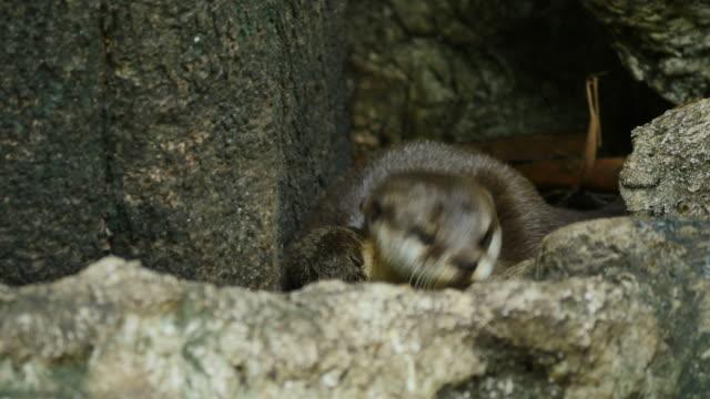 Otter met het cub.