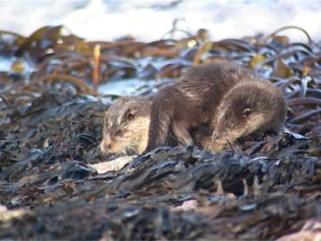 otter x 2 mcu mother and cub otter waking up - focus searchers - hebrides stock videos & royalty-free footage