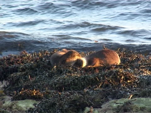 otter x2 ws - mcu play fighting, waves  breaking behind - europäischer fischotter stock-videos und b-roll-filmmaterial