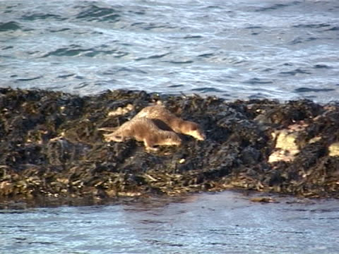 otter x2 mws long shot of mother + cub foraging at sunset on shore line - europäischer fischotter stock-videos und b-roll-filmmaterial