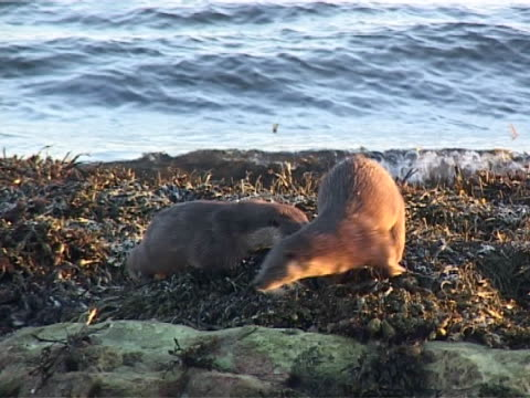 otter x3 mcu  on seaweed, another joins & both move r-l to join a 3rd, all sniff & spirant - europäischer fischotter stock-videos und b-roll-filmmaterial