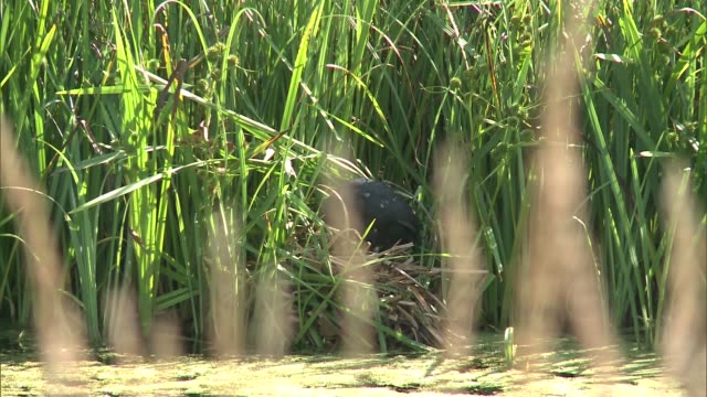 otters and ducks at london wetland centre england london london wetland centre ext duck along through lake / moorhen in long grass by water / baby... - otter stock videos & royalty-free footage