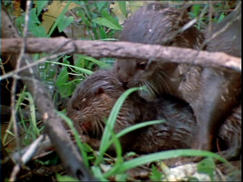 otters eat fish on a grassy riverbank. - zoologia video stock e b–roll