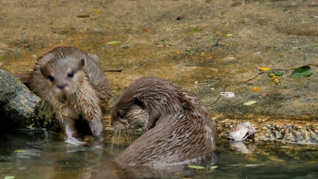 Otters eten van een vis ter plekke.
