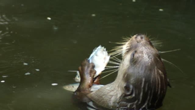 vídeos y material grabado en eventos de stock de nutria comiendo un pez - nutria de río