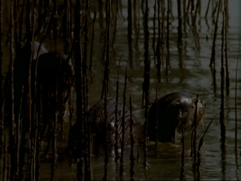 mcu 2 otters in shallows of mangrove swamp, india - aquatic organism stock videos & royalty-free footage