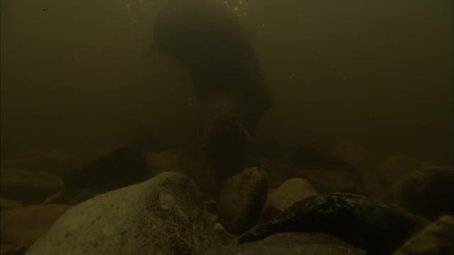otters investigate around rocks in murky water. - otter stock videos & royalty-free footage