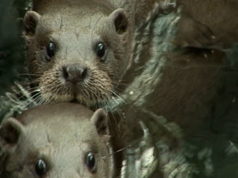 otters, swimming, playful - eurasian otter stock videos & royalty-free footage