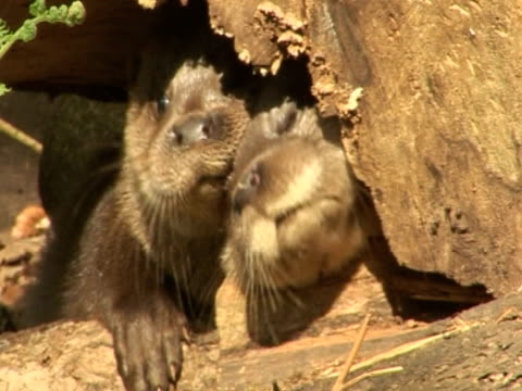 otters, underwater logs, inquisitive, curious - eurasian otter stock videos & royalty-free footage