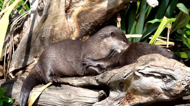 otters - kelp stock videos & royalty-free footage