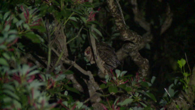 otus lempiji pryeri, a sub-species of the sunda scops owl (otus lempiji) native to okinawa, japan - iucn red list stock videos & royalty-free footage