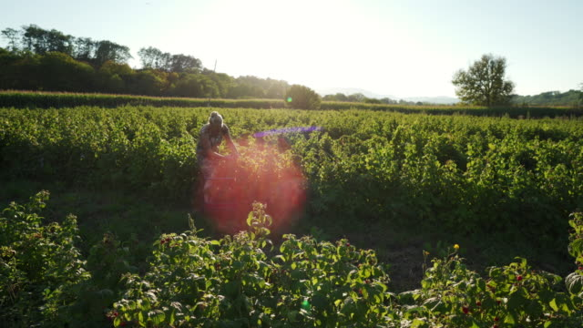 our raspberries are organic and grown with love - brambleberry stock videos & royalty-free footage