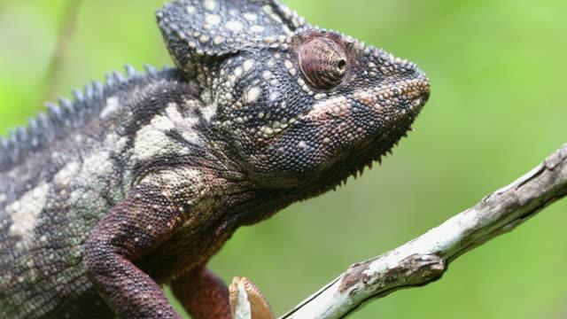 vidéos et rushes de oustalet's chameleon, madagascar - caméléon