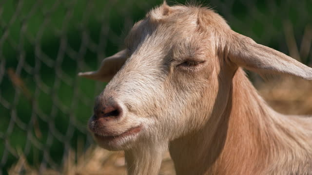 CU of out of breath blond goat