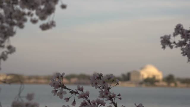 花の後ろにフォーカス ジェファーソン記念堂から - 政治行動委員会点の映像素材/bロール