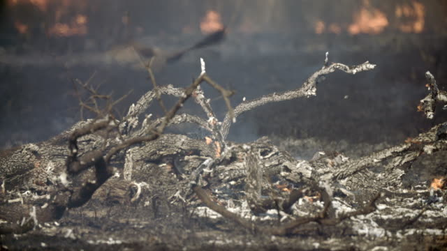 outback bush fire, grass and trees burning, black kite swoops through shot - outback stock videos & royalty-free footage
