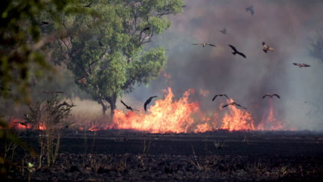 vidéos et rushes de outback bush fire, grass and trees burning, black kites circling above in slow motion - fire