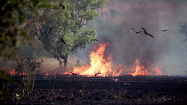 vídeos de stock, filmes e b-roll de outback bush fire, grass and trees burning, black kites circling above in slow motion - animal