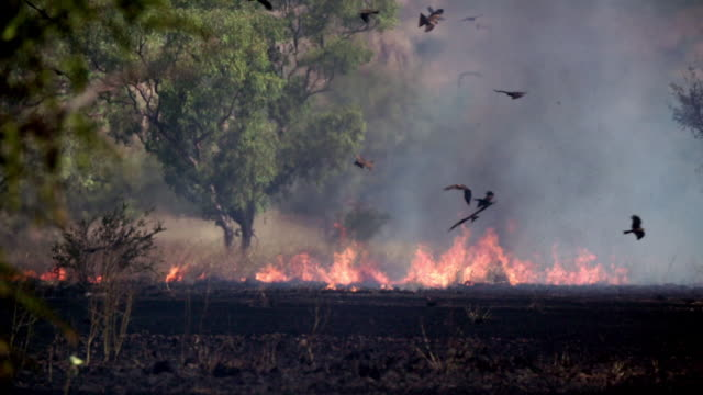 outback bush fire, grass and trees burning, black kites circling above in slow motion - burnt stock videos & royalty-free footage