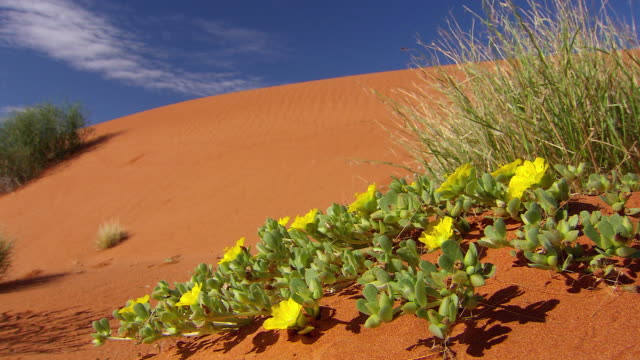 MS Outback desert with flowers / Innamincka, South Australia, Australia