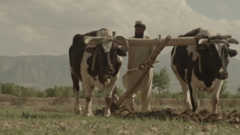 vídeos y material grabado en eventos de stock de outskirt of herat, afghanistan, two cows with harness ploughing the land, and a farmer supervising - arar