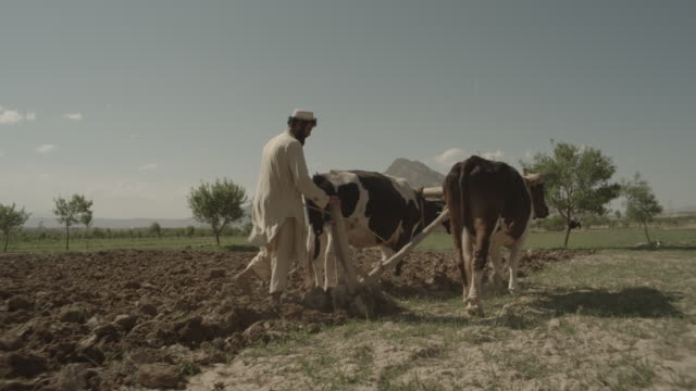 outskirt of herat, afghanistan, two cows with harness ploughing the land, and a farmer supervising - 2014 stock videos & royalty-free footage