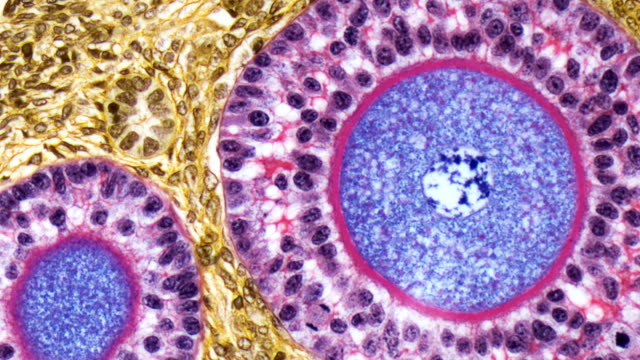 ovarian follicles, lm - micrografia video stock e b–roll