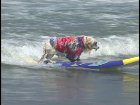 over 60 dogs took part in an annual surfing do competition in california. - human interest stock videos & royalty-free footage