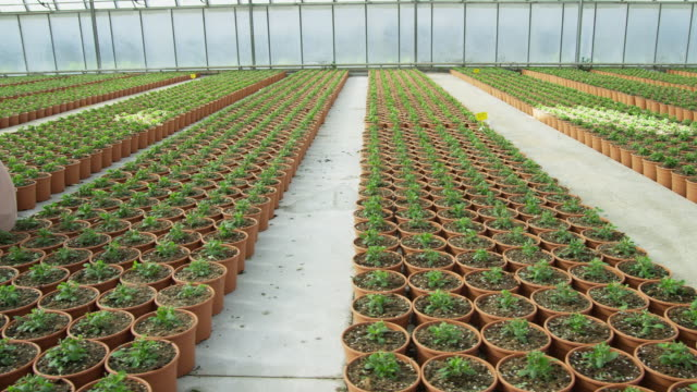 ds over beds of small flowering plants in greenhouse ending on two workers (male and female) kneeling and tending plants - uomini di età media video stock e b–roll