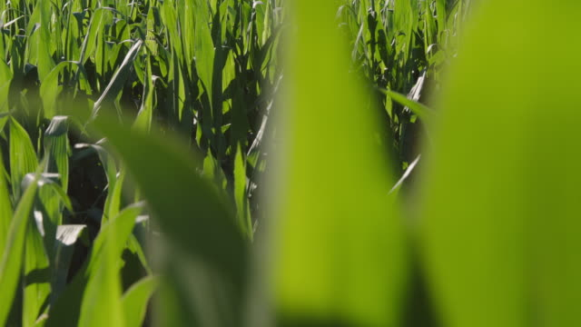 cs over corn field to blue sky - dolly shot stock videos & royalty-free footage