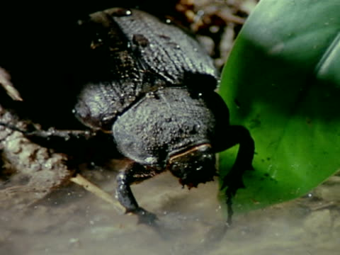 female rhinoceros beetle flat back no horns taking drink from small pool of liquid cu two black rhinoceros beetles fighting wrestling in small pool... - pair stock videos & royalty-free footage