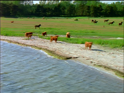 AERIAL over herd of cattle + horses in green field by coast / Denmark