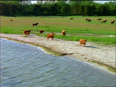 aerial over herd of cattle + horses in green field by coast / denmark - 草食性点の映像素材/bロール
