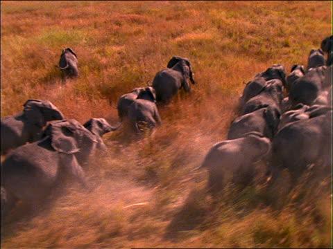 AERIAL over herd of elephants running in grass