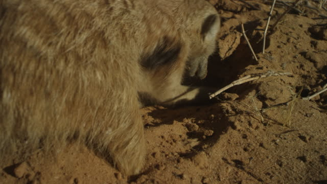 over shoulder cu meerkat foraging in sand very close to camera - foraging stock videos & royalty-free footage