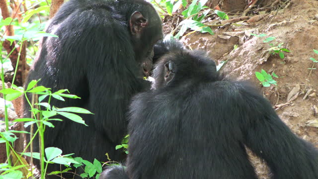 cu over shoulder of 2 chimpanzees fishing for and eating termites using twigs - twig stock videos & royalty-free footage