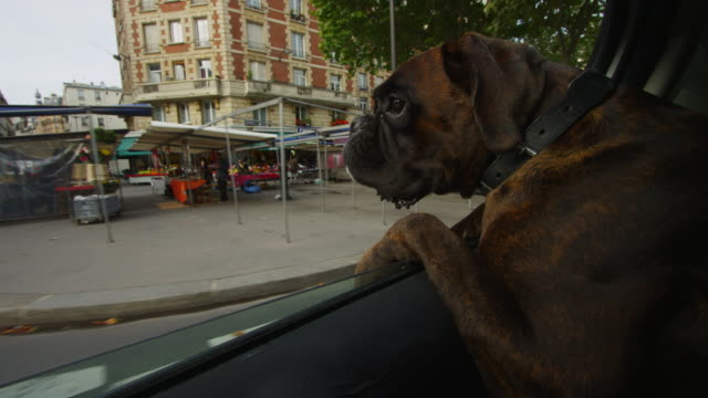 cu over shoulder of boxer dog leaning out of window of car driving in streets of paris - boxer dog stock videos and b-roll footage