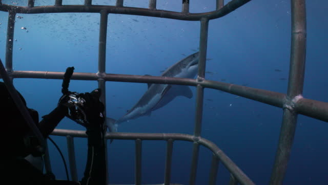 over shoulder shot of a diver watching a great white shark passing by - shark stock videos & royalty-free footage