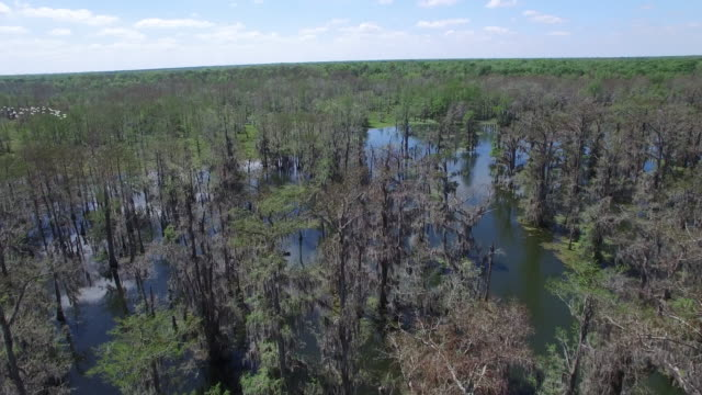 over swamp with birds in side frame - drone aerial 4k everglades, swamp bayou with wildlife alligator nesting ibis, anhinga, cormorant, snowy egret, spoonbill, blue heron, eagle, hawk, cypress 4k nature/wildlife/weather drone aerial video - bayou lafourche stock-videos und b-roll-filmmaterial