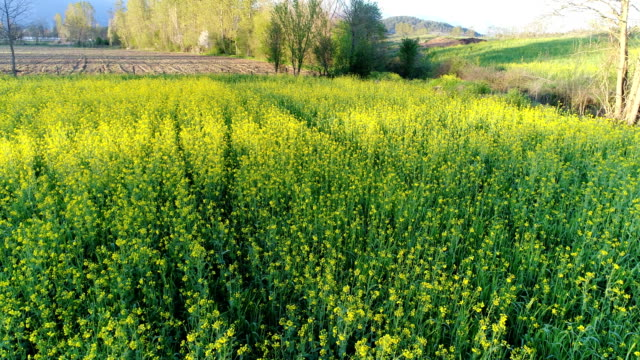 over the field- 3 - oilseed rape stock videos & royalty-free footage