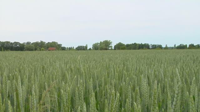 ZI over tops of wheat growing in field / Brandenburg, Germany