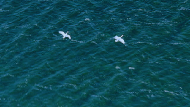 AERIAL over two swans flying above + landing on ocean / Taero Island, Mon, Denmark